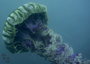 Black Sea Nettle off the coast of San Diego (wreck of the Ruby E), July 2012. Yeah, those things do sting.